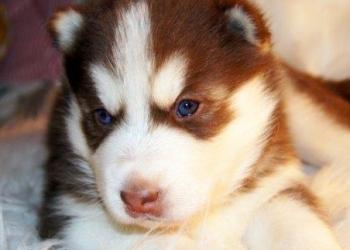 Шоколадные хаски голубые глазки