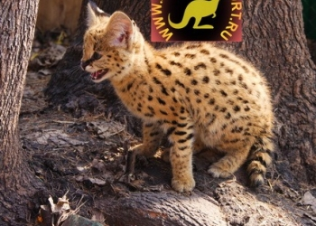 Продаю котят Сервала (Felis serval), Рождены 19 октября 2013 года!!!