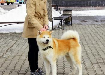 Шикарный щенок японской акиты ( Хатико)