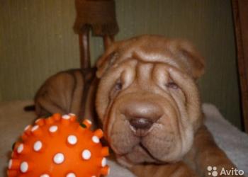 очаровательные щенки шар-пея