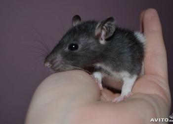 Крыски разный возраст и окрасы