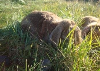 продаю кроликов породы баран мадагаскарский