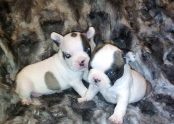 Продам щенков Французского Бульдога