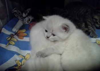 Беленькая шотландская кошечка