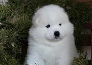 Белоснежный щенок самоеда от родителей Чемпионов
