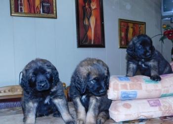 Изумительные щенки Леонбергера