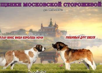 Щенки московской сторожевой