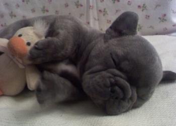 Синий французский бульдог щенки