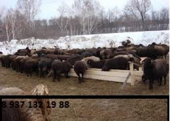 МРС - бараны, овцы, козы