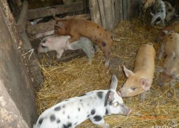 Поросята и свиньи, мясной породы