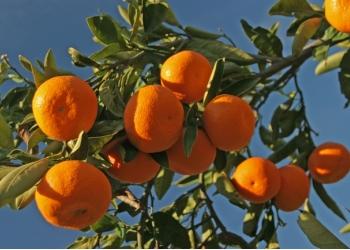 Абхазские мандарины новый урожай с октября 2017 г