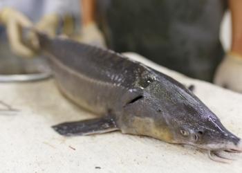Рыбы осетровых пород Сибирского осетра и Стерлядь