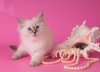 Невские синеглазые котята