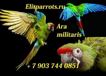 Cолдатский ара (Ara militaris)  - ручные  птенцы из питомников Европы