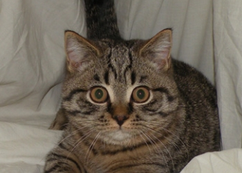 Подрощенный британский котик шоу класса