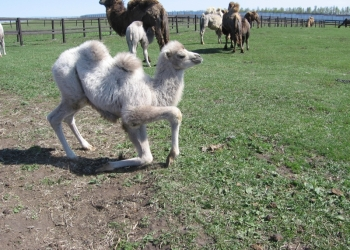 Верблюжата от племенных производителей