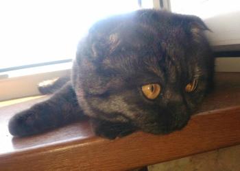 продам кошку-красавицу