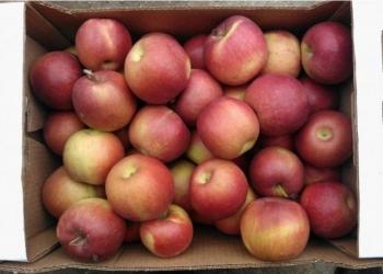 Яблоки оптом 65+ от производителя 30 р/кг.