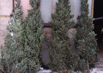 Новогодние елки оптом и мелким оптом, крестовины