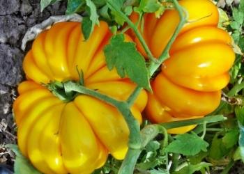 Семена томатов и перцев из личной коллекции
