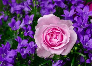 Красивые и новые сорта роз для твоего Бизнеса