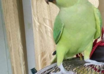 ожереловый попугайчик