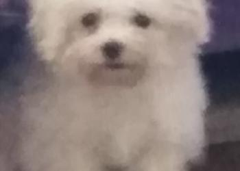 Продам щенка Бишона фризе,
