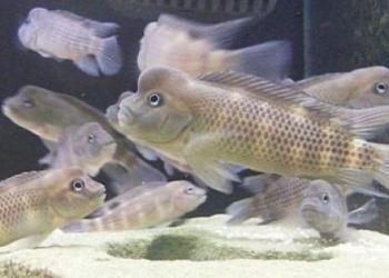 Львиноголовая цихлида. Рыба-Казуар.