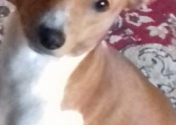 продам 1 щенка басенджи