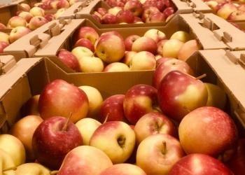 Продам оптом или в розницу яблоки