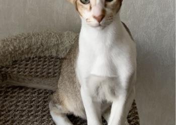 Продается котик  ориентал.ный, 3 мес.