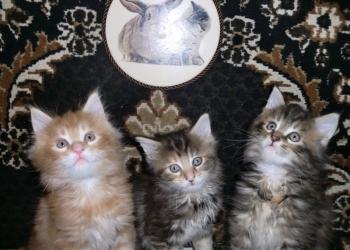 Мейн куна крупные котята