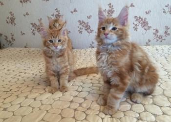 продам красивых котят Мейн-Куна