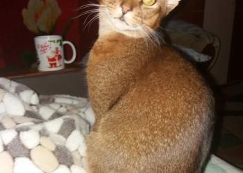 Подрощенный абиссинский котенок