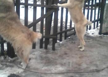 Продаю собак (АЛАБАЙ)