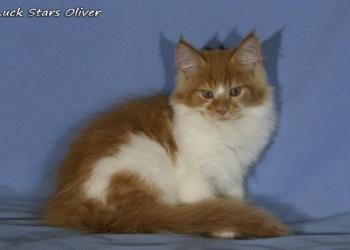 Крупный мальчик мейн-кун Luck Stars Oliver