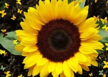Семена гибриды подсолнечника и кукурузы Пионер, Сингента, Лимагрейн, Монсанто, Н