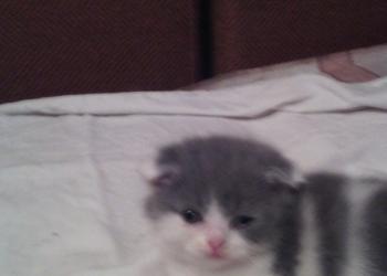 котик вислоухий,кошечка и котик прямоухие