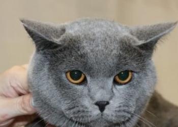 Вязка с крупным шотландским котом.