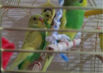 Птенцы волнистых попугаев для  обучения .